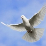White dove flying on on the Sky.