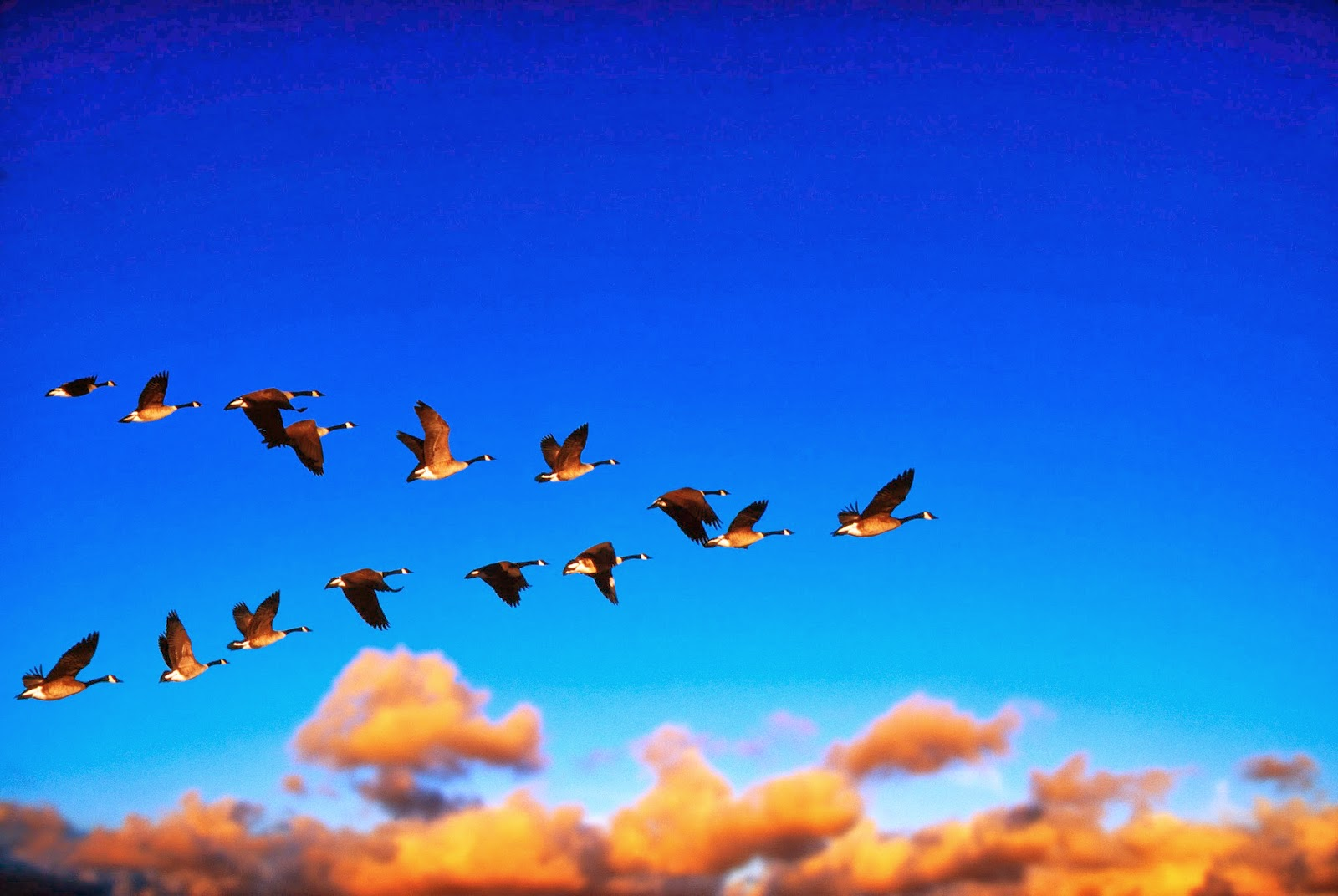 Canada Geese Flying at Sunrise --- Image by © Chase Swift/CORBIS
