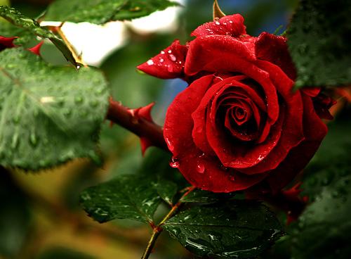 Vídeo De Bom Dia Com Lindas Flores De Fundo Para Enviar: A Parábola Da Rosa